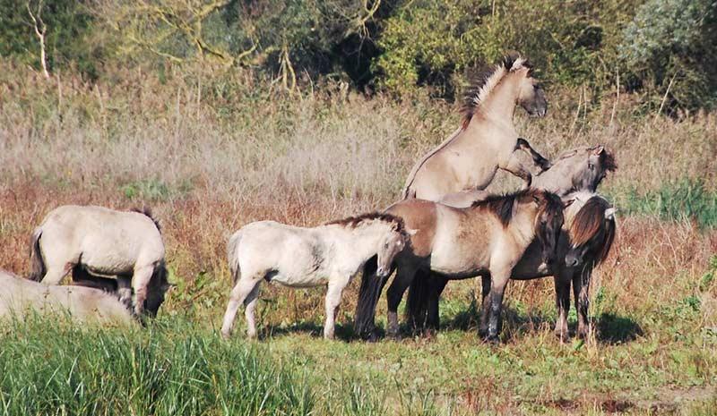 Polish Konicks up to 140cm were among the ponies studied.