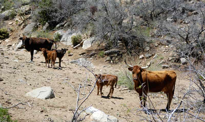 """Overgrazing by cattle in Cerbat HMA in north-west Arizona. The area is famed for its Spanish Colonial mustang but they are almost all gone now. """"The BLM office in Kingman should be protecting them but is rather doing the opposite."""""""