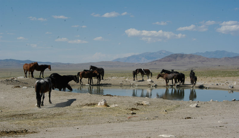 Horses at a water hole on the Onaqui Wild Horse HMA in Utah.