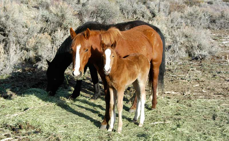 A charming mare and her colt peering trustingly at the camera. Such close bonds between mare and colt are ruthlessly broken during the violent government-sponsored roundups. They are from a western Nevada herd, possibly Pine Nut Mountain HMA.