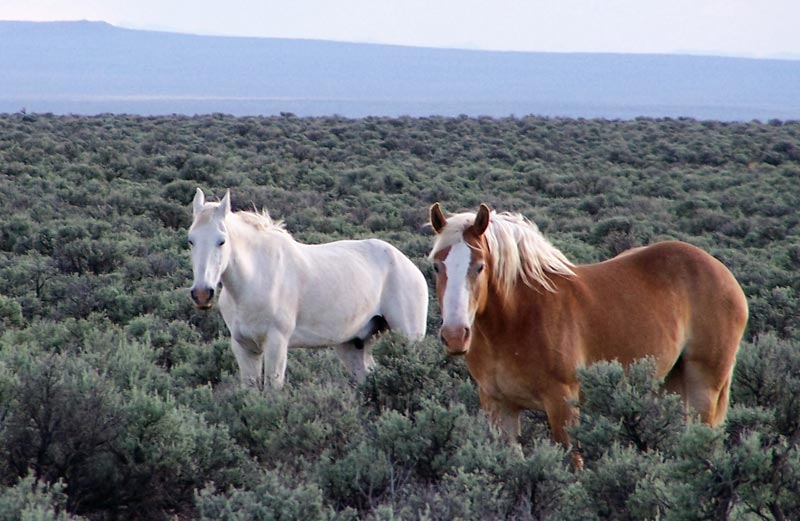 Two wild stallions peer at the camera apprehensively but as is nearly always the case with horses, with good will. This is in Burns Junction in southern Oregon. So few horses remain in Oregon due to a campaign to either eliminate or nearly eliminate them by both BLM and USFS.