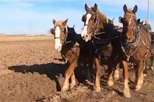 Ronnie, the middle horse of a three-horse plough team, is now back at work.