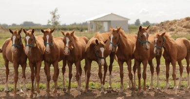 Eight cloned polo pony weanlings derived from the same mesenchymal stem cell (MSC) line.