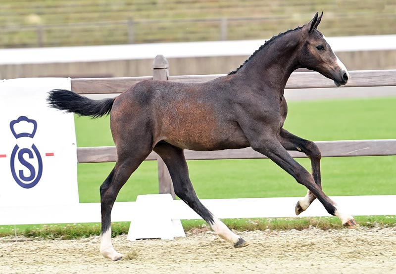 Cherry Lady (by Cornet Obolensky) sold to the US for €21,000 at the 23rd Oldenburg Online Elite Foal Auction in Germany.