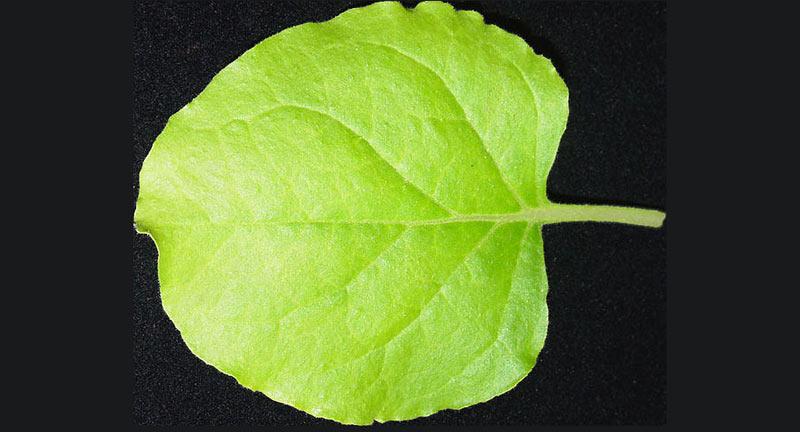 A Nicotiana benthamiana leaf.