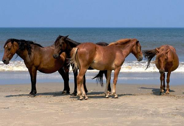 The free-roaming horses that inhabit the Shackleford Banks of North Carolina appear to take advantage of local wind patterns to reduce their harassment by biting flies, researchers report.