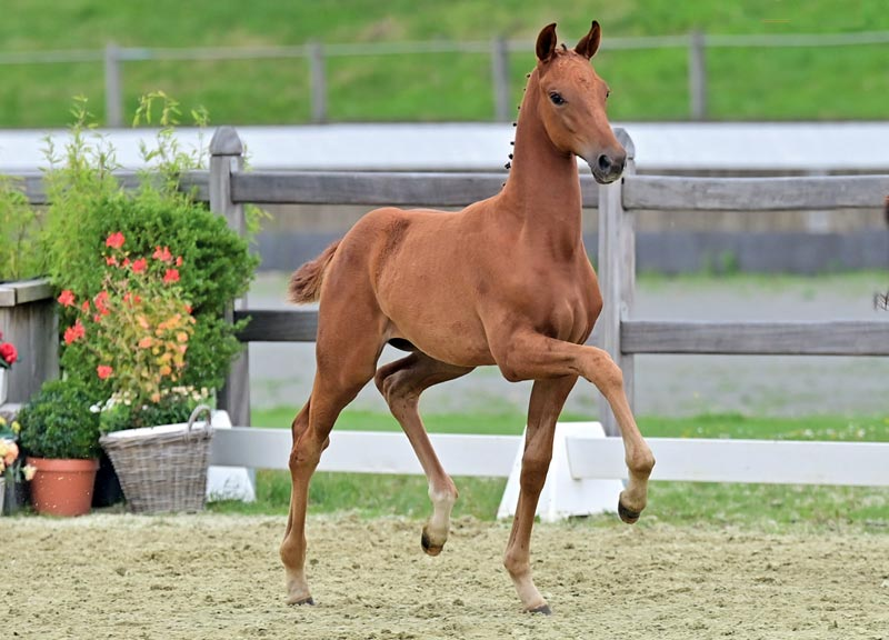 Victoria Woods (by Vivaldos) sold for €36,500 to a Dutch buyer at the 23rd Oldenburg Online Elite Foal Auction in Germany.