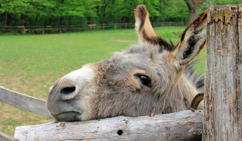 """Online research collection """" Recent Advances in Donkey Medicine and Welfare"""" is being made available to help improve donkey health."""