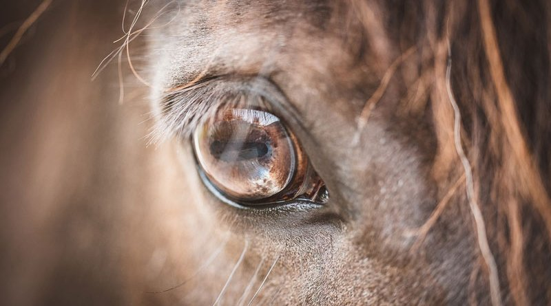 Equine Recurrent Uveitis (ERU), a common eye condition in horses, is a biofilm-associated leptospiral infection, researchers show.