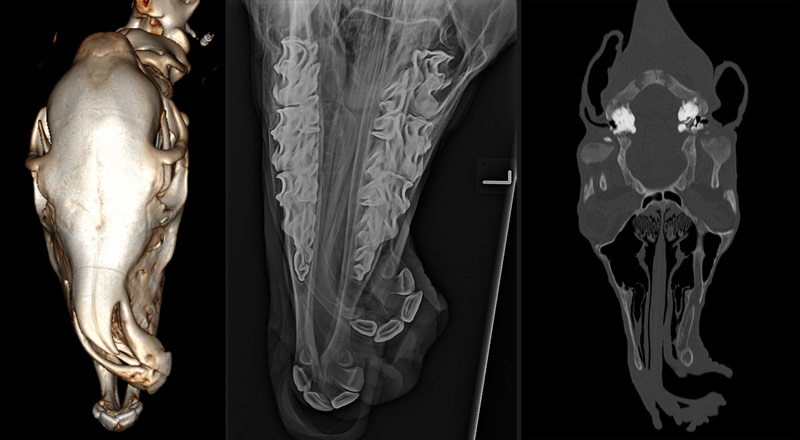 CT scans of foal one before surgical correction.