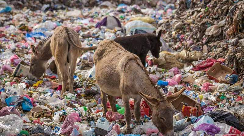 Donkeys forage for food amid a rubbish dump full of plastic in Morocco.