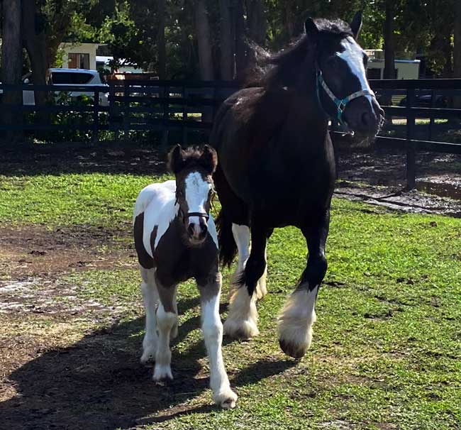 Gypsy Vanner foal Eros with his mother, Vogue, enjoying pasture time after his recovery.