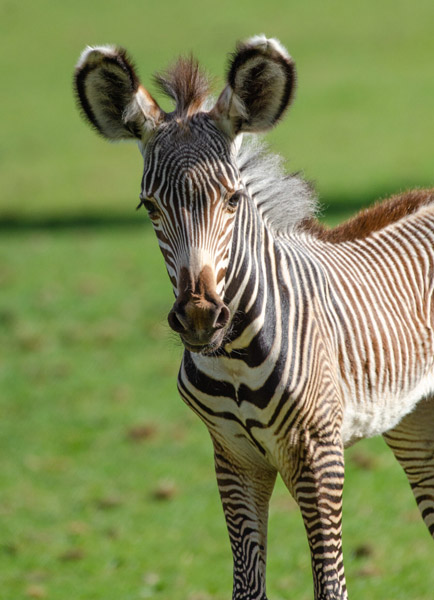 The new arrival at Marwell Zoo.