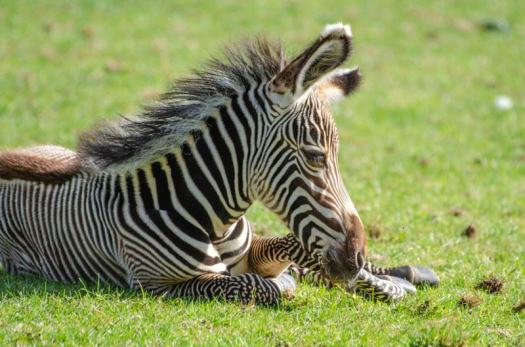 The new Grevvys zebra foal is yet to be named. Picture by Gemma/Marwell Zoo