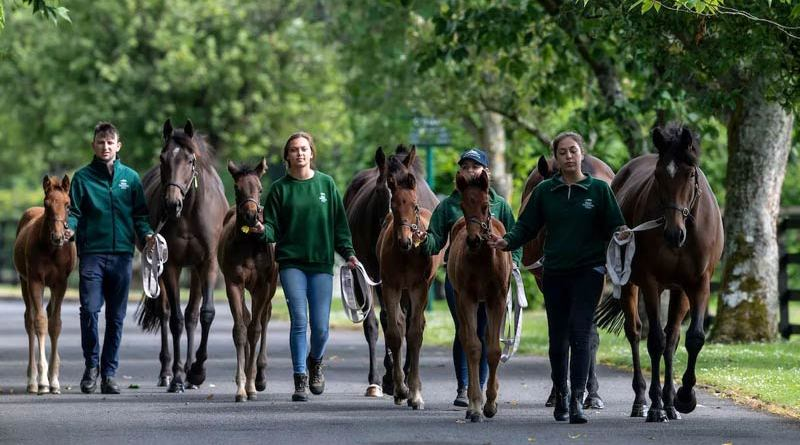 Mares and foals at the Irish National Stud.