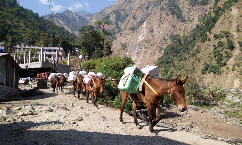 Mules were used to carry building supplies to remote villages affected by Nepal's earthquake in 2015.
