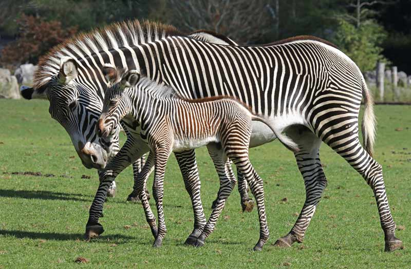 Grevvy's zebra mare Ellen and her new foal.