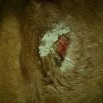 Roy-wound-15-04-11