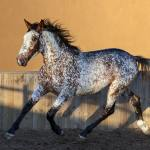 A Guide To Appaloosa Horse Horsy Land All About Horses