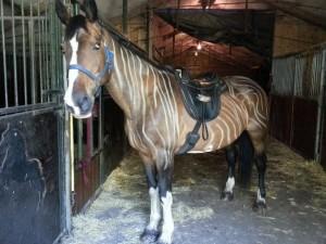 Zelf je paard zebrastrepen geven