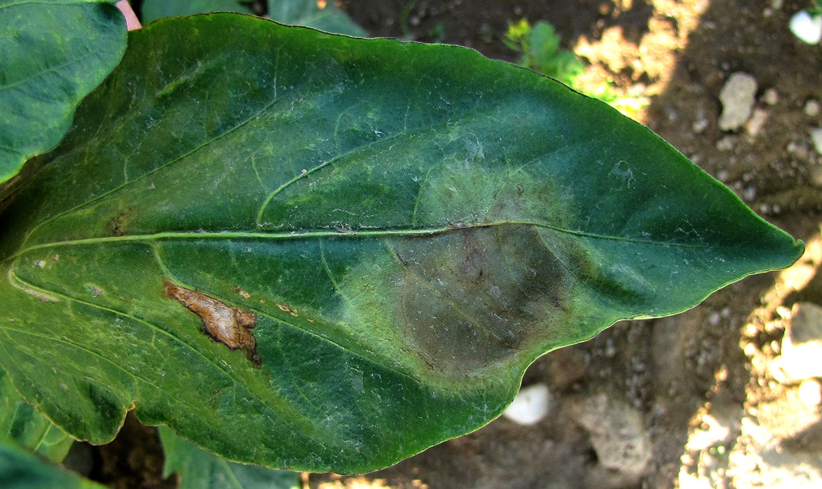 Image result for phytophthora blight