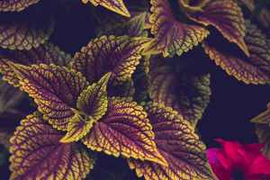 bright coleus with ornamental leaves in garden