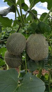 melon with trellis net