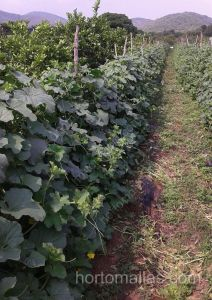 More melon density with use trellis net
