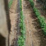 produção de ervilhas