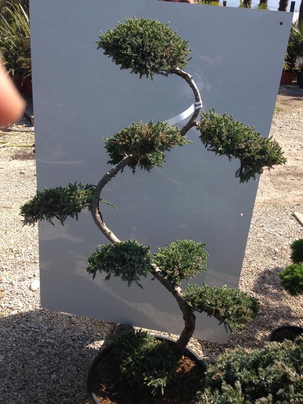 Juniperus Communis 'Blue Carpet'