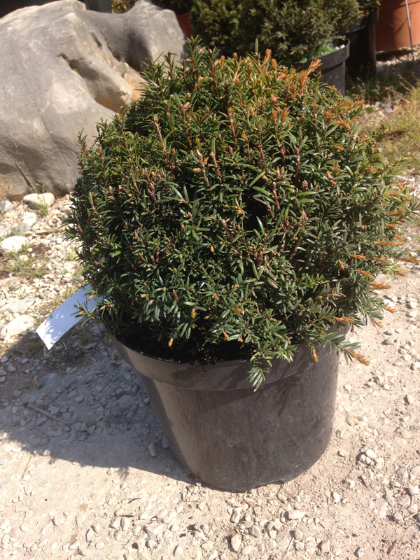Taxus Baccata 'boule'