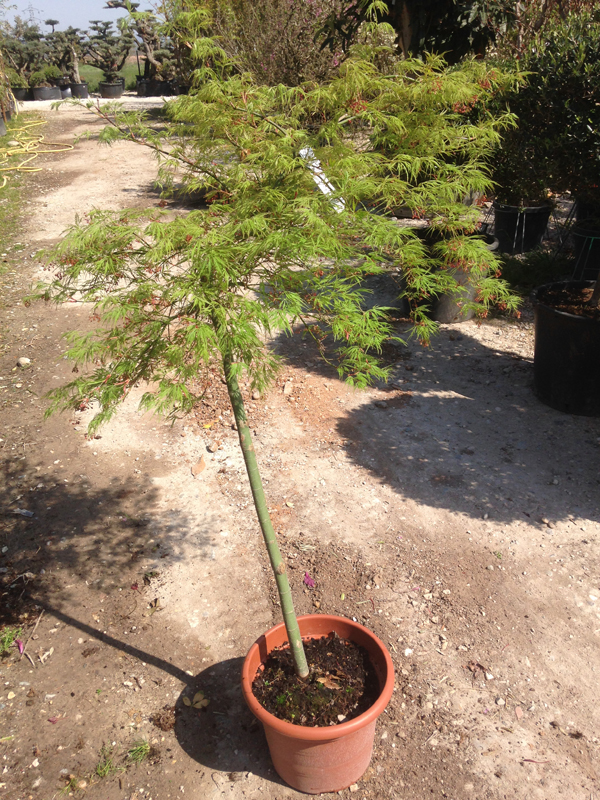 Acer Palmatum 'Viridis' Tige