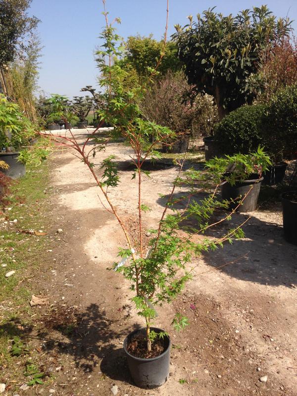 Acer Palmatum 'Bihoo'