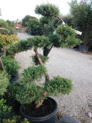 T-Juniperus