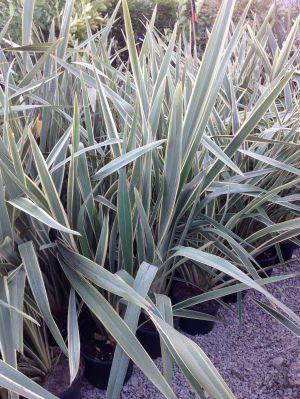 phormium variegatum