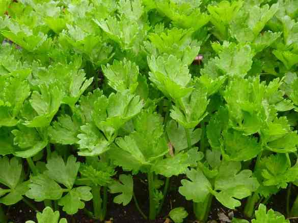 high-value vegetables -celery-