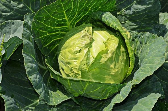 high-value vegetables -cabbage