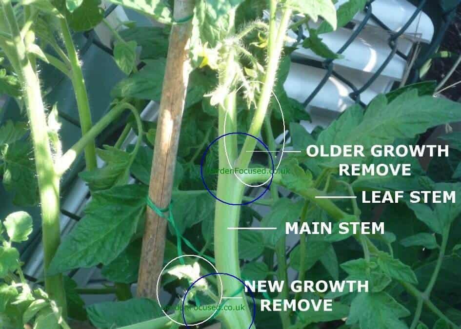 pruning vegegetable garden