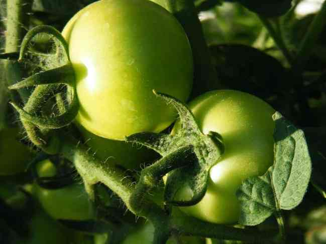 Export of fresh fruits and vegetables needs high degree of quality standards