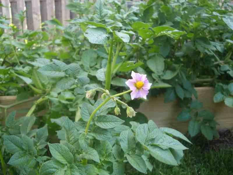 Easiest vegetables to grow potato