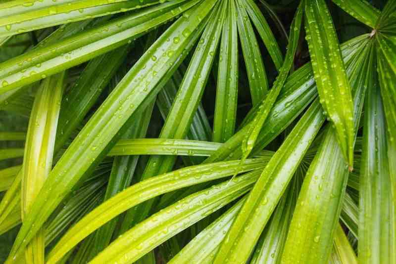 Houseplants bamboo palm