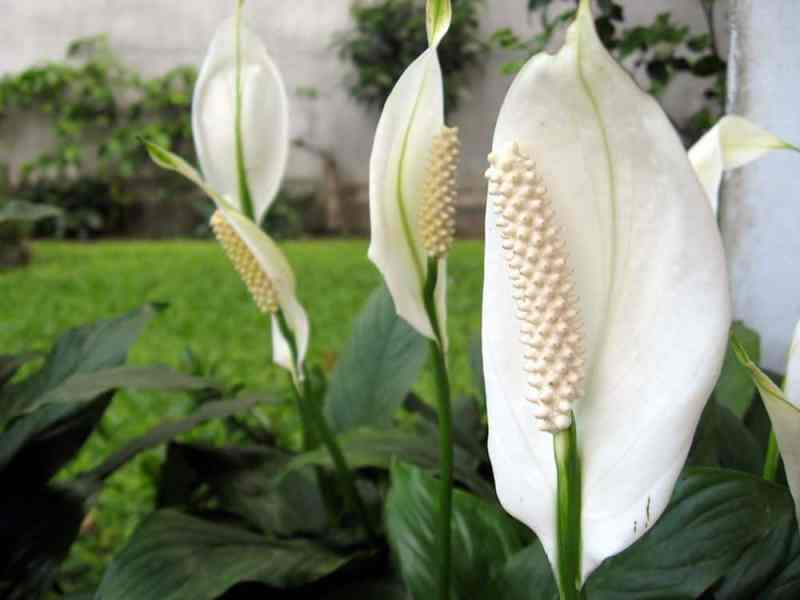 Houseplants peace lily