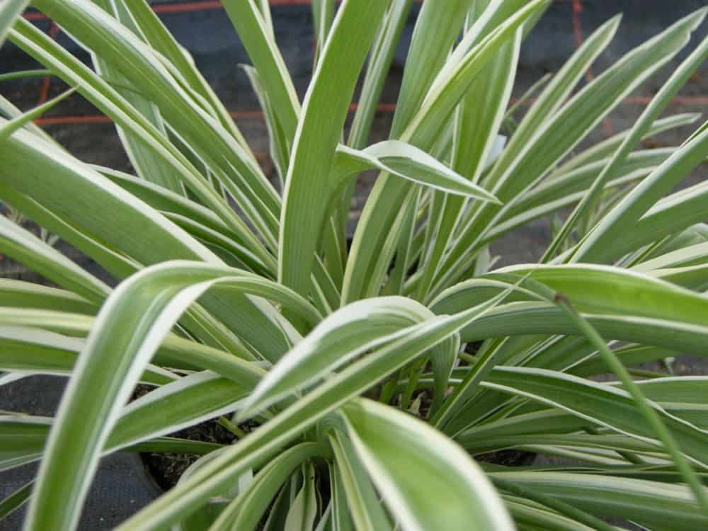 Houseplants spider plant