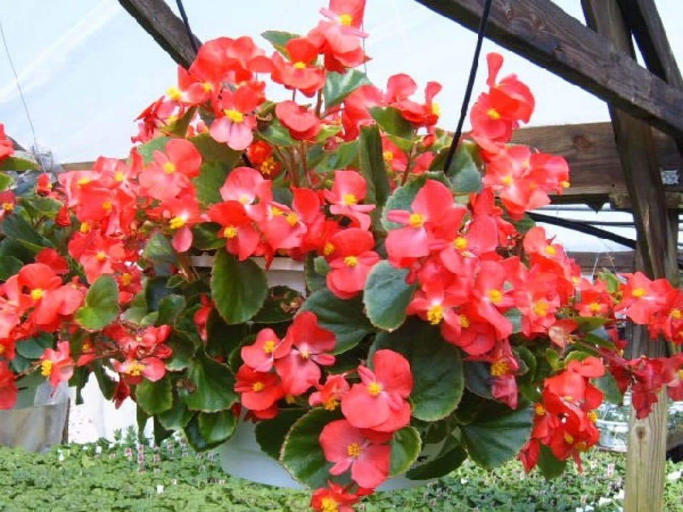 Wax Begonia Care: Do Begonias Like Sun or Shade? can begonias take full sun