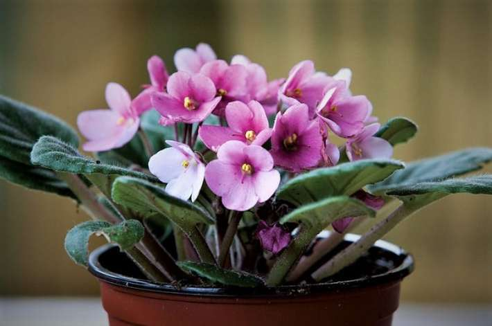 Indoor flowering plants - African violet