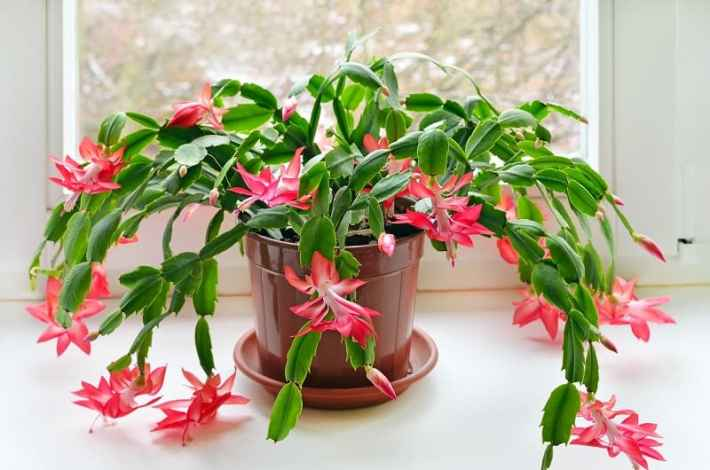 Indoor flowering plants - christmas cactus