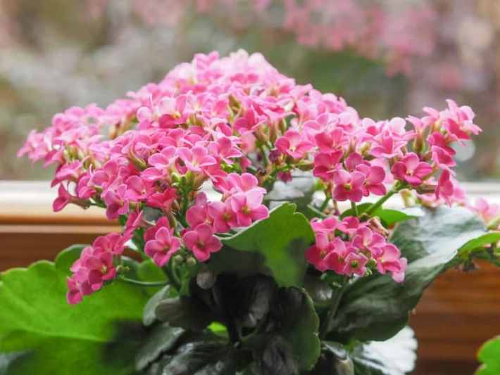Indoor flowering plants - flowering kalanchoe