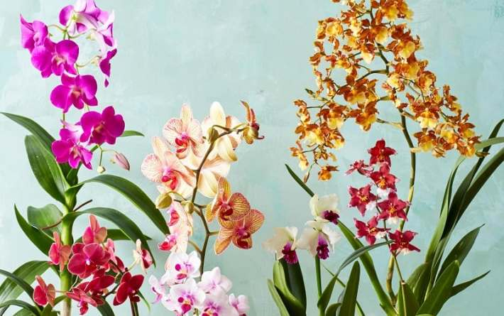 Indoor flowering plants - orchids