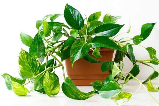 Indoor flowering plants - pothos