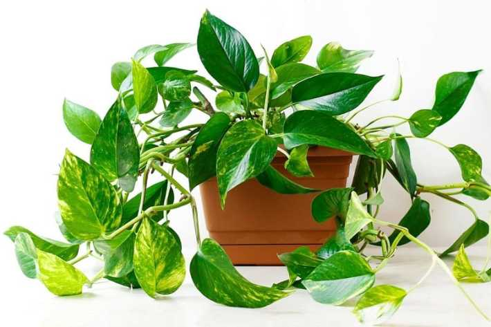 Indoor flowering plants - pothos